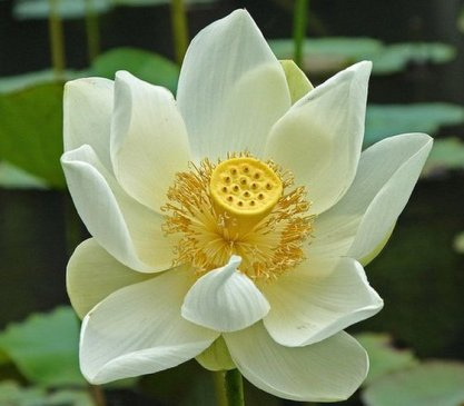 white-lotus-flower